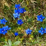 Spring Gentians