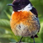 Stonechat Male